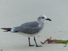http://faaxaal.forumgratuit.ca/t3432-photo-de-laride-mouette-atricille-mouette-rieuse-d-amerique-leucophaeus-atricilla-laughing-gull#5873