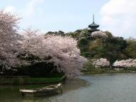 Sankeien Garden Sakura Viewing | Kanagawa | Japan Tourist