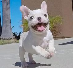 French Bulldog dogs sale classified by Geri-Mcghee6 - Sparky ...