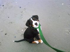 Greater Swiss Mountain Dog. I would like one now please.