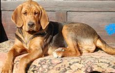Polish Hound / Ogar Polski #Dogs #hunting