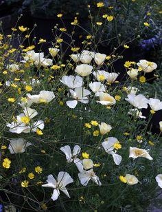 Eschscholzia 'Alba' and Ranunculus californicus mingle by anniesannuals, via Flickr