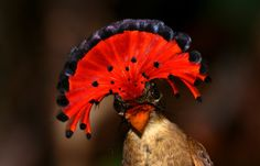 Amazonian Royal Flycatcher by Andrew Whittaker, via 500px - wow!