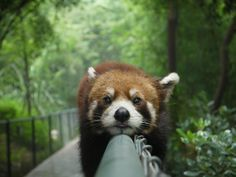 One Look At This Red Panda And All Your Problems Will Go Away