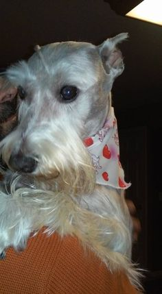 Jennifer Kaminski GriceCT Lost Pets silver grey https://www.facebook.com/groups/CTAnimalRecoveryLLC/permalink/465632686941110/  My name is Tango. I got out of my fence in Pawcatuck, CT. If you see me....please call my mommy at (401)699-3206. She misses me very much. I am a white miniature schnauzer, I weigh about 25 lbs.