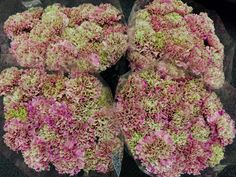 #Dianthus #PrettyPink painted; Available at www.barendsen.nl