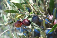 The Lost Art of Curing Olives