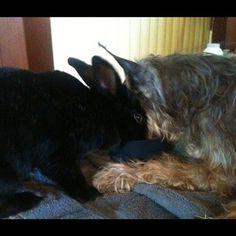 Zeppelin & Toby   #RIP Toby, my best friend :((  #schnauzer #rabbit #animalfriends