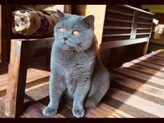 My Gorgeous British Blue Short Hair Boy Named Hugo,Born on 1/07/2019, He Was The Pick Of The Litter,He Is Going To Be Huge,Very Big Boy For His Age,Fl... Pet Breeds, Puppy Breeds, British Blue Kitten, Cat Site, British Shorthair Kittens, F2 Savannah Cat, Kitten For Sale, Animal Activities, Softies