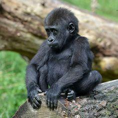 Gorilla Baby @ Burgers' Zoo 24-06-2015 | by Maxime de Boer