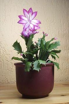Lavender Christmas Cactus                                                                                                                                                      Más