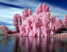 Pink Bubble Gum Tree Trees around a lake are gorgeous at anytime, but in springtime there is something magical in the air.