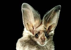 Photograph:The huge auricles (outside ear parts) of a bat help it to tell from which direction a sound is coming.