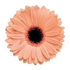 Wholesale Peach Gerbera Daisies are the flowers you've been waiting for your upcoming wedding or special event. This delicate peach variety offers a soft warmth in bridal bouquets and arrangements, an Collage Design, Collage Art, Collages, Flower Collage, Gerbera Flower, Gerbera Daisy Tattoo, Most Popular Flowers, Gerber Daisies, Photocollage