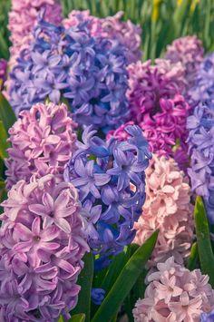 Hyacinth Plant, Hyacinth Flowers, Daffodils, My Flower, Beautiful Flowers, Narcisse, Bulbs For Sale, Spring Bulbs, Spring Garden