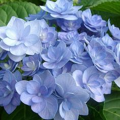 Hydrangea Romance: Shrubs/Hydrangea at the Wairere Nursery Online Shop