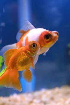 telescope eye goldfish Cute little pair.