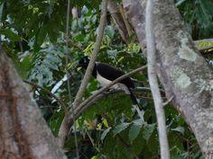 Foto gralha-cancã (Cyanocorax cyanopogon) por Antonio Lemos Maia   Wiki Aves - A Enciclopédia das Aves do Brasil