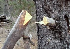Fatwood is scar tissue of a damaged or injured pine tree   How To Find Pitchwood #survivallife www.survivallife.com