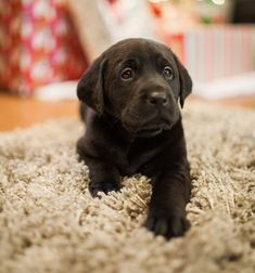 And the most KISSABLE faces. | 27 Reasons Labradors Are The Best Creatures In The Galaxy