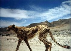 Asiatic cheetah (Acinonyx jubatus venaticus).  Formerly common throughout Southwest Asia, including the Arabian Penninsula, Iran and India, now critically endangered and limited to patches in Iran's central desert.