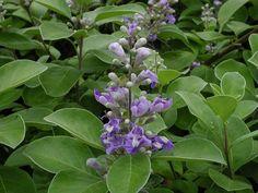 Vitex rotundifolia Pohinahinia