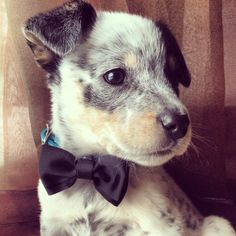 Australian cattle dog with a bow tie