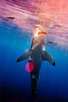 Beautiful, Colorful Photograph of a Shark by Tiburón #sharkweek | Louis A. Surace, DDS | #Lockport | #NY | www.drsurace.com