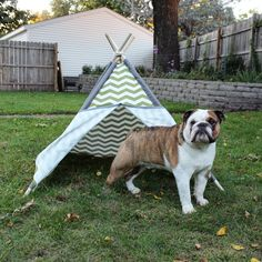 English Bulldog camping