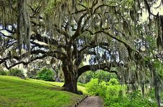 Middleton Place Oak