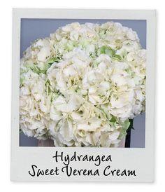 Hydrangea Sweet Verena Cream - Holex Insights newsletter week 21