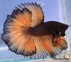 Betta Fish - Best Animals