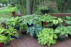 Smug Creek Happenings: The Pot Garden. How to store potted hostas in winter.