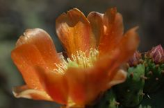 Flor de nopal desenrollándose