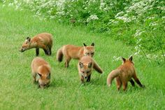 Mama fox definitely has her work cut out for her :-) #red_fox #Vulpes_vulpes…