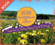 The Darling Wildflower Society has been around now for more than a century and the Society's Show takes place annually over the third weekend in September. Cape Town, West Coast, Wild Flowers, Third, The Incredibles, Live, Places, Nature, The Great Outdoors