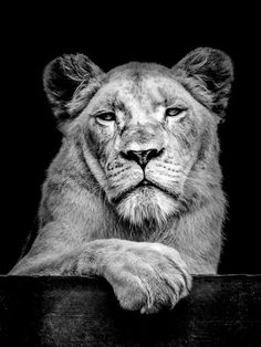 Photo The Lioness Lukas Holas Leones Pinterest Lions - Breathtaking black and white animal portraits by lukas holas