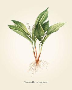 Botanical Art Print - Vintage Botanical Print - Convallaria majalis Illustration Print - Redoute' Botanical Print - Lily of the Valley print