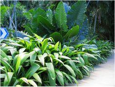 CURCULIGO CAPITULATA:  Nomes Populares: Curculigo, Capim-palmeira/  Família: Amaryllidaceae/   Categoria: Folhagens, Forrações à Meia Sombra/  Clima: Equatorial, Subtropical, Tropical/   Origem: Ásia/   Altura: 0.9 a 1.2 m, 1.2 a 1.8 m/   Luminosidade: Luz Difusa, Meia Sombra/  Ciclo de Vida: Perene/  Local: Cairns Botanical Gardens- Australia