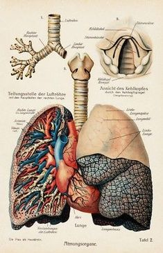 Exceptional Drawing The Human Figure Ideas. Staggering Drawing The Human Figure Ideas. Lung Anatomy, Human Anatomy Art, Medical Anatomy, Anatomy Drawing, Anatomy And Physiology, Medical Drawings, Medical Art, Medical Illustrations, Medical Doctor
