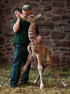 adorable Baby giraffe photography
