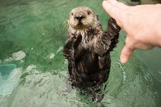 Gimme five, human! - April 19, 2019 Otters Funny, Funny Animals, Cute Animals, Fun Baby Announcement, Otter Love, Baby Animals Super Cute, Baby Animals Pictures, Art Friend, Sea Otter