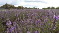 blog-Unique things to do in London - Mayfield Lavender farm, Banstead Surrey.
