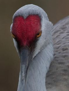 Sandhill Crane, George C. Reifel Migratory Bird Sanctuary, British Columbia, Canada (c) Art Wolfe Beautiful hearty on his face. I Love Heart, With All My Heart, Happy Heart, Heart In Nature, Heart Art, Love Symbols, Beautiful Birds, Beautiful Hearts, Bird Feathers