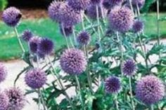 Globe Thistle | ASPCA Scientific Name: Echinops spp. Family: Asteraceae Toxicity: Non-Toxic to Dogs, Non-Toxic to Cats, Non-Toxic to Horses