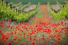 wine and poppies