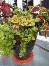 Résultat d'images pour coleus planter