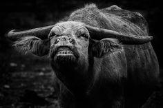 the grinning buffalo by Syahrul Ramadan, via 500px
