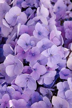 Photography Flowers by Tina & Horst Herzig Hortensia Stockphotos Hortensia Hydrangea, Hydrangea Paniculata, Hydrangea Flower, My Flower, Hydrangeas, Amazing Flowers, Purple Flowers, Beautiful Flowers, Purple Bouquets