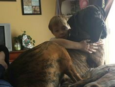 Brindle Great Dane Philmore with my 7 year old turbo